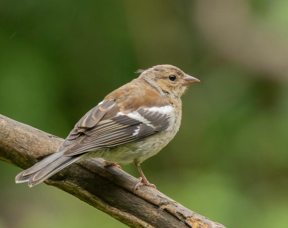 Female Chaffinch.jpg