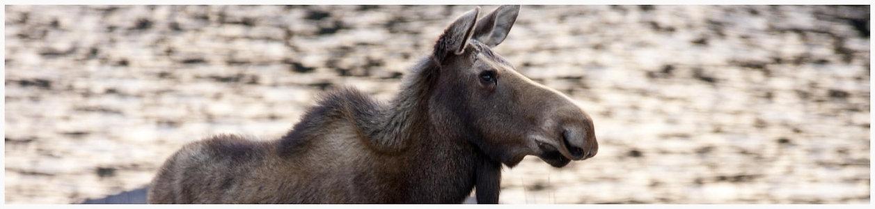A young moose walking in New Bonaventure