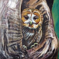 Tawny Owl at Home