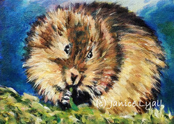 Water Vole at Lunch