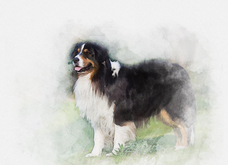 Gorgeous Collie