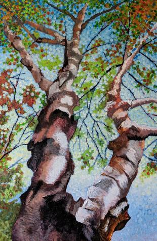 Birch in the autumn sun Quebec