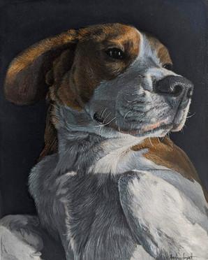 Gorgeous Beagle