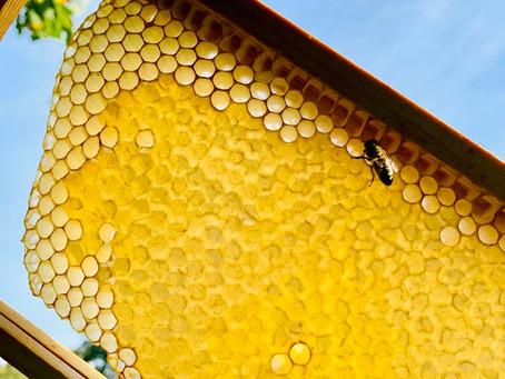 蜂蜜色のハチの巣にたっぷりハチミツ