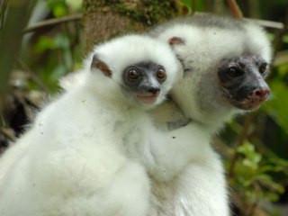 Four Lemur Videos