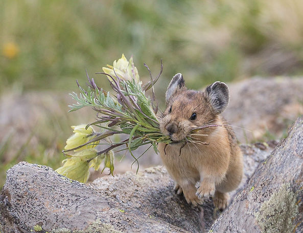 Flower Power - This Pika has clipped off