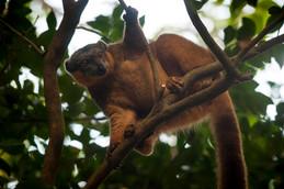 Collared brown lemur