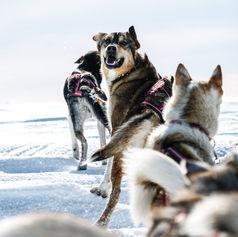Fulufjället Hundspann36.jpg