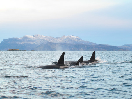 Killer whale and eagle safari with Riksbyggen in northern Norway