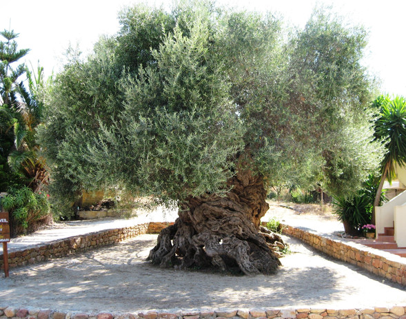 The oldest olive tree on earth