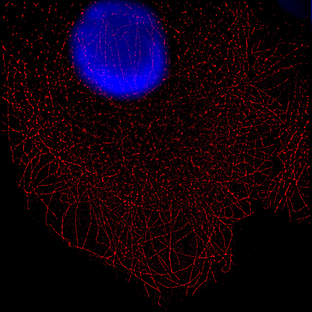 Cos7 cell line Super Resolution image