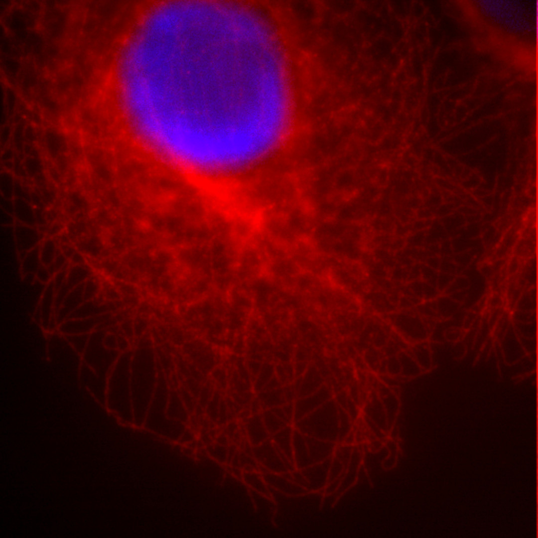 Cos7 cell line Conventional fluorescence image