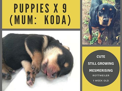 Koda's Puppies
