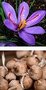 sativus crocus.jpg