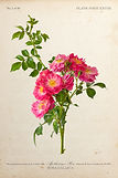 2 Rose 2628.jpg