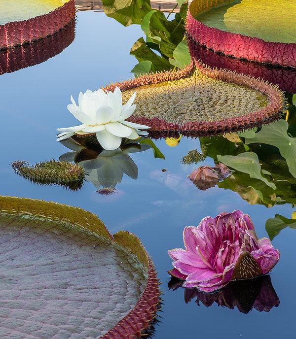 5. Water Lilies  969.jpg