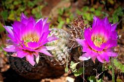 Spring-Cactus