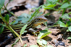 Texas Striped Whiptailed Lizard