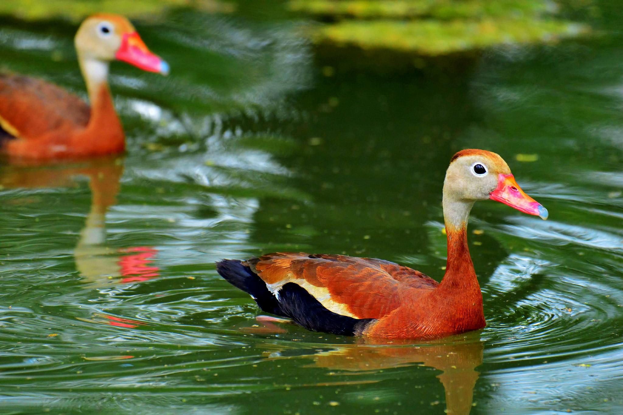 BB-Whistling-Ducks