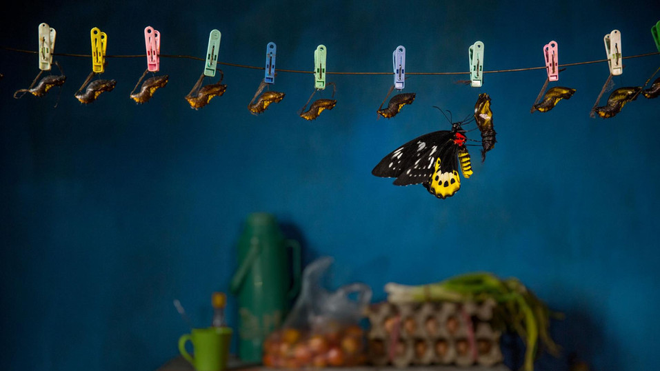 Butterfly Traders | National Geographic