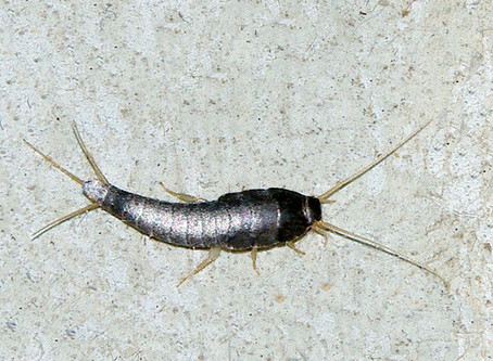 How To Get Rid of Silverfish