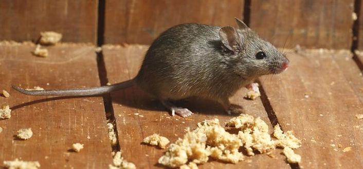 mice control dublin