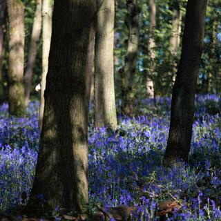 Bluebells, West Yorkshire, UK