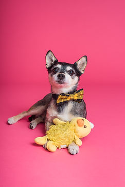 short-coated-dog-sitting-on-pink-surface