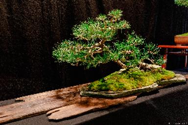 bonsai1.png