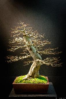 bonsai2.png