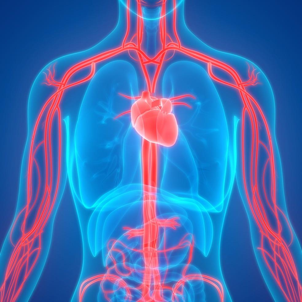 ilustração representando o sistema circulatório. imagem da parte interna do tronco de um ser humano destacando o coração e os vasos sanguíneos em vermelho