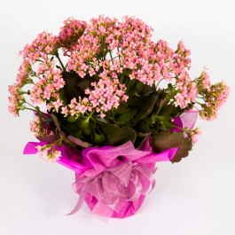 Vaso de flor Kalanchoe R$ 30