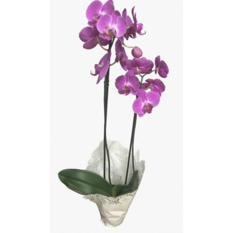 Orquídea 1 ou 2 Hastes R$ 80