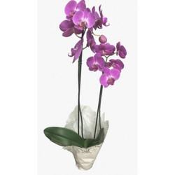 Orquídea 1 ou 2 Hastes R$ 99