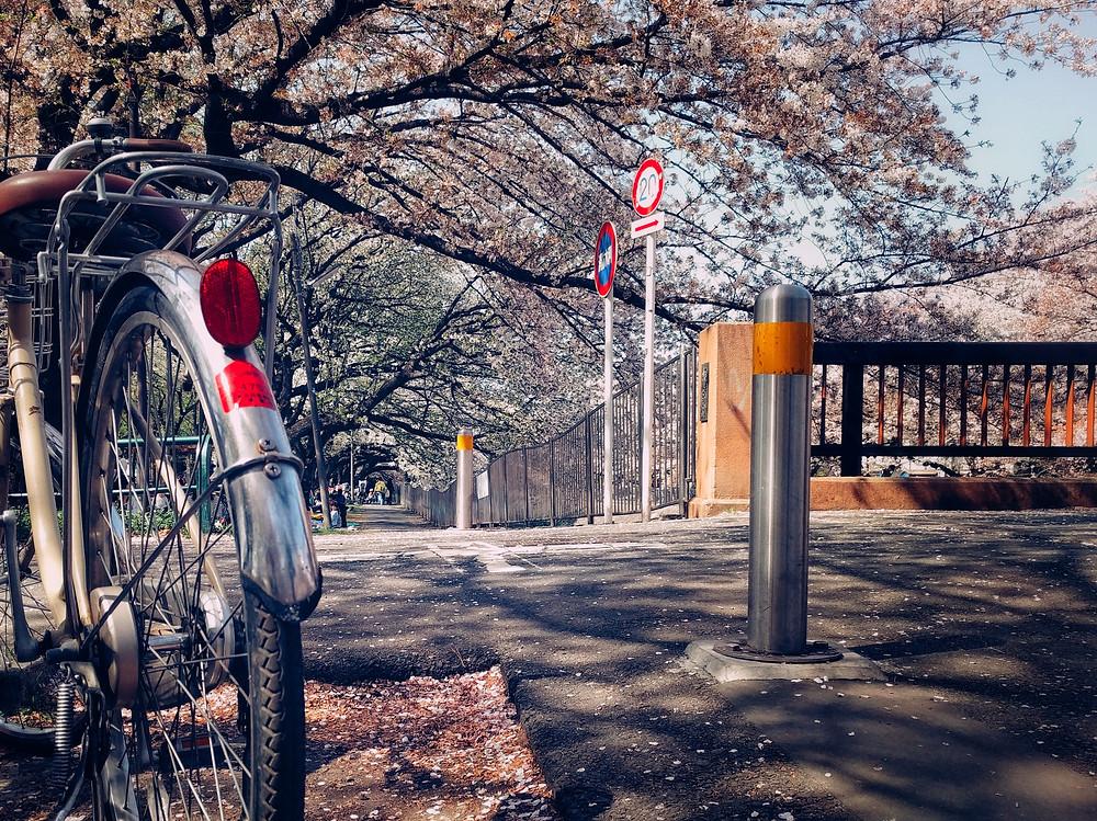 Bike under cherry blossoms along the Zenpukuji River in Tokyo.