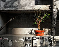A bonsai tree in the sun in the backstreets of Tokyo