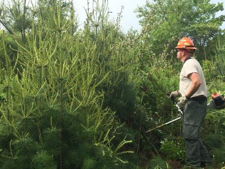 Thinning White Pines