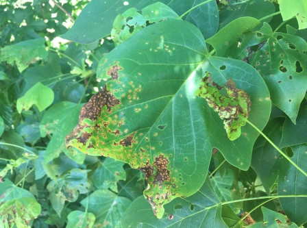 What's eating the poplar leaves?