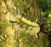 Beware  -  Stinging Caterpillars