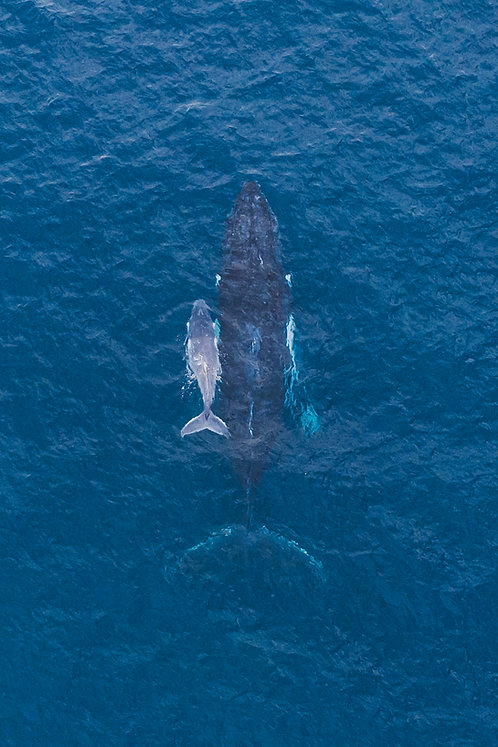 Humpback Whale and Her Calf