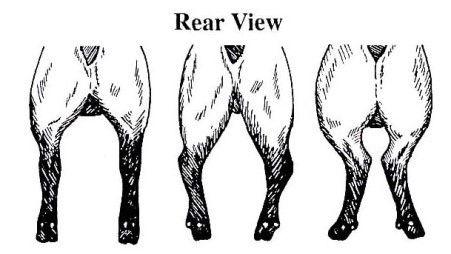 breed standard rear legs.jpg