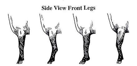 breed standard side front legs.jpg