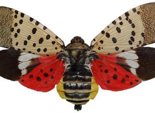 Pest Alert/The Spotted Lanternfly