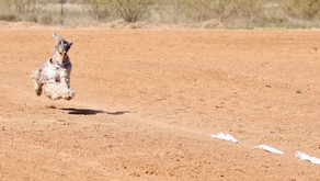 Lure Coursing: Get Started