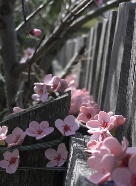 Fence line prunus