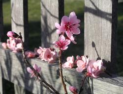 Prunus Fence line Installation.