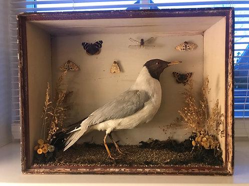 Taxadermy Gull