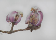 A Study of Yulan Magnolias in Bloom