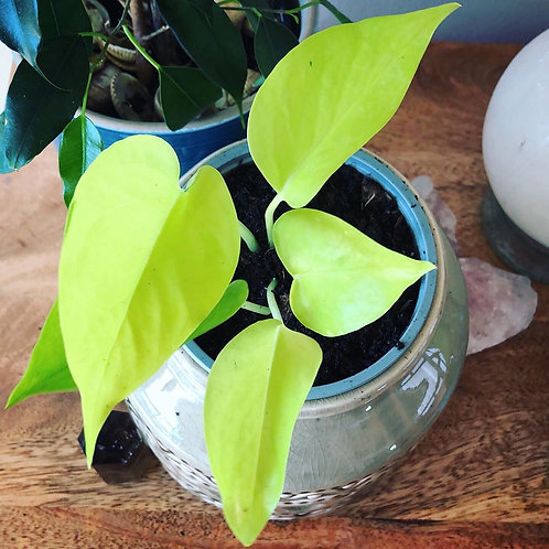 Neon pothos Rooted Cutting