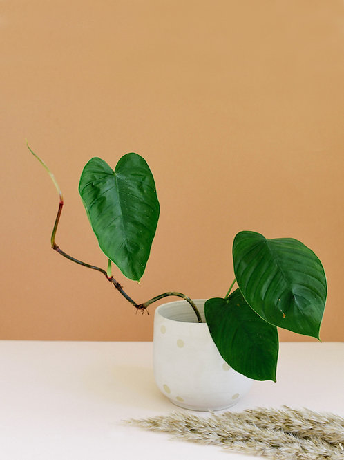 Philodendron Tenue - coming soon
